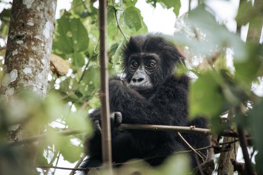 国立公園と地元有力者らが対立、近絶滅種ゴリラの新たな脅威に コンゴ