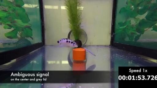 動画:中米原産の誠実な魚、意中の個体と離れると悲観的に 仏研究 実験映像