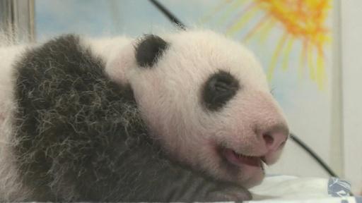 動画:白黒模様もはっきり ベルギーのパンダ、生後1か月に