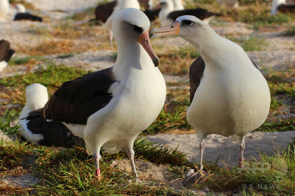 ミッドウェー環礁で「世界最年長」の海鳥が産卵