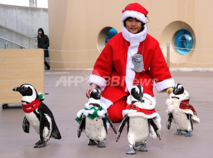 よちよちぺたぺた、ペンギンたちがクリスマスの行進 八景島