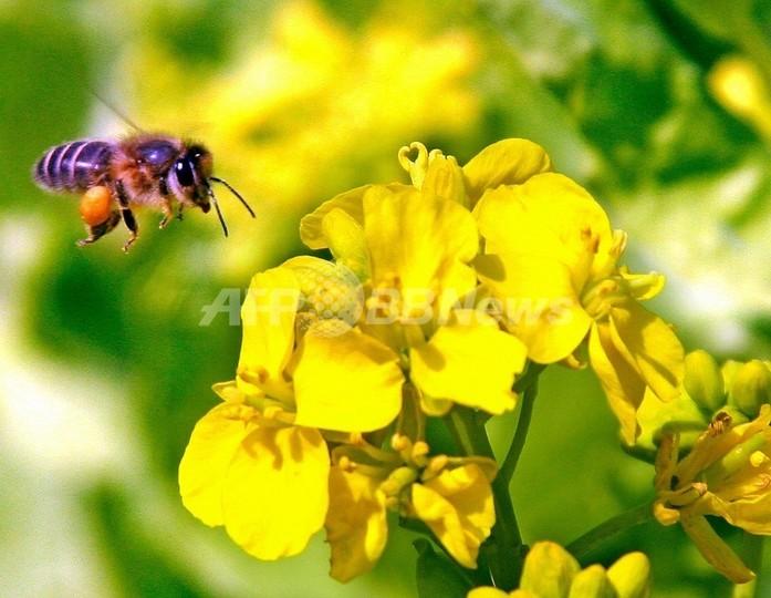 花粉を運ぶハチ、年間約24兆円相当の経済効果