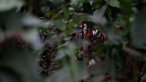 動画:絶滅寸前のトラ、生息数倍増 カギは隠しカメラと地元住民の協力 ネパール