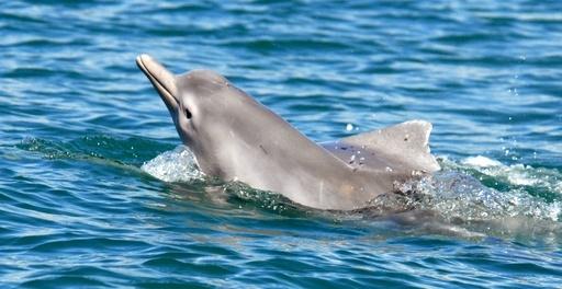 豪北方沖に新種のウスイロイルカ