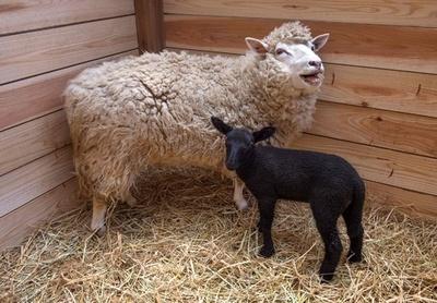 白いヒツジから黒い赤ちゃん生まれる、千葉市動物公園