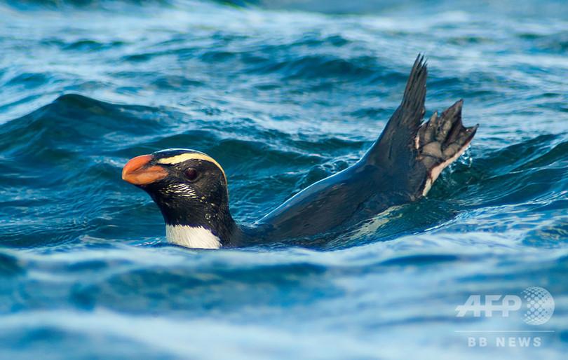 ペンギンの驚異的な遠泳、追跡調査に初めて成功 NZ