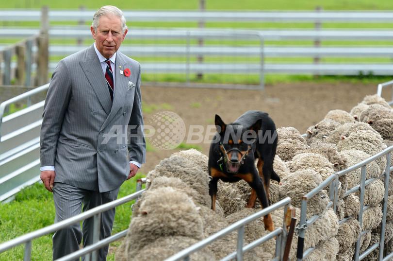 どこを走ってるの!?チャールズ皇太子もびっくり、牧羊犬の妙技
