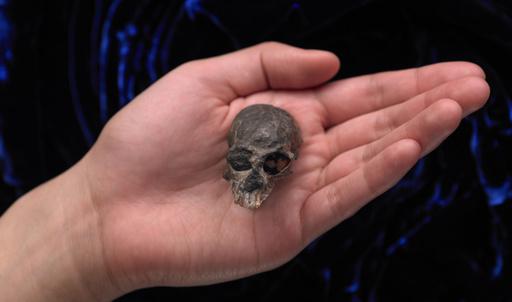 2000万年前の小さなサルの唯一の頭骨、脳の進化の一端を解明