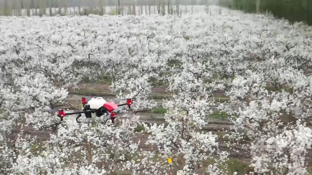 梨の授粉にドローン利用 「スマート農業」の新モデル 中国・新疆