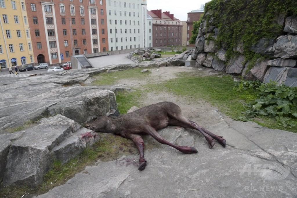 ヘラジカが銀行に窓から飛び込む、フィンランド