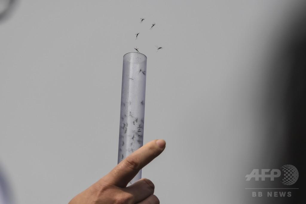 デング熱対策に有効な細菌感染させた蚊を大量放出 ブラジル
