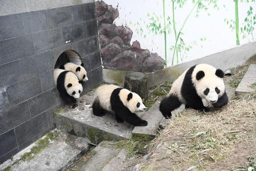 世界の飼育ジャイアントパンダ個体数548頭に 記録を更新