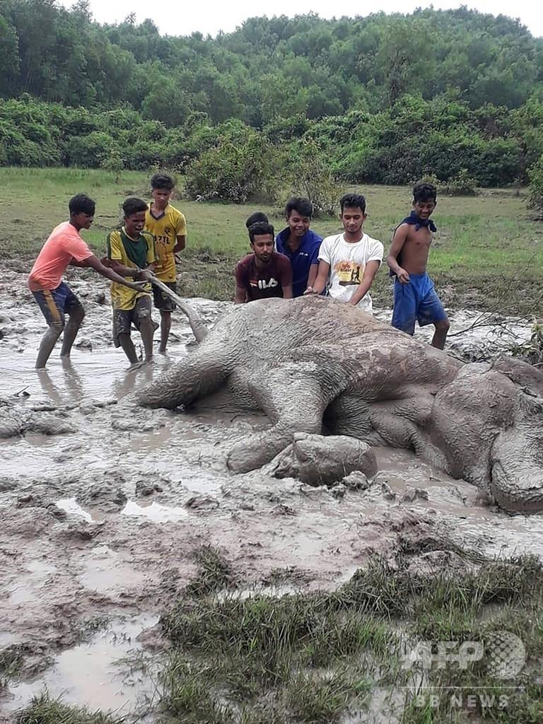 泥にはまったゾウ、若者たちが引き上げる バングラデシュの保護区