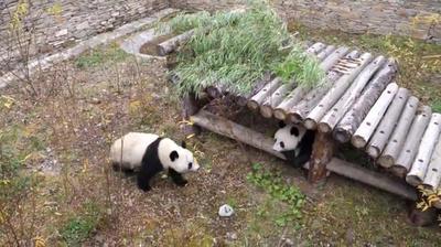 動画:双子のパンダ「福鳳」「福伴」、オーストリアから中国に帰国