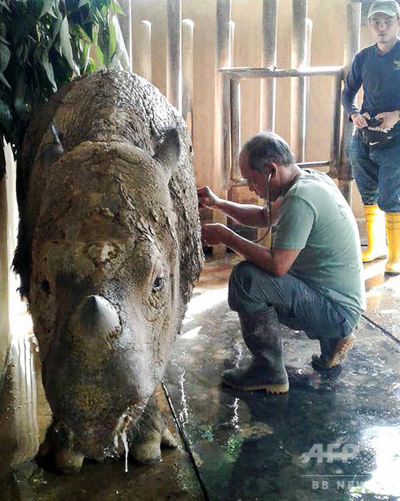 マレーシア最後のスマトラサイが死ぬ、世界で残り80頭未満