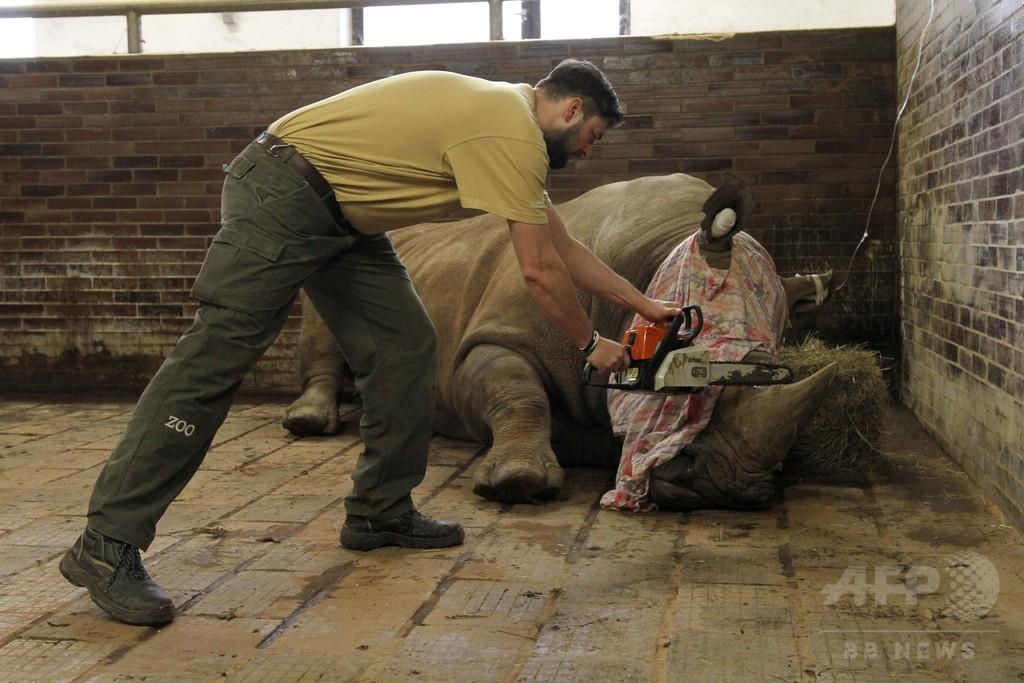 チェコの動物園、密猟対策でサイの角切断