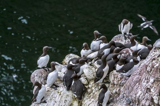 ウミガラス約100万羽が餓死、温暖化による熱波が原因か 研究