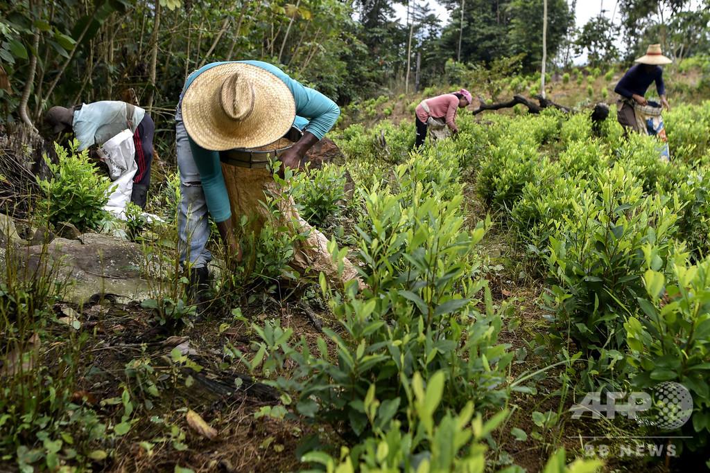 17年のコカイン生産量、過去最高に 内戦終結のコロンビアで増産