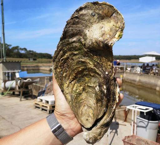 重さ1.4キロの巨大カキ、仏で発見 食べず海に戻される