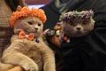 キャットウオークに美猫大集合、トルコでコンテスト