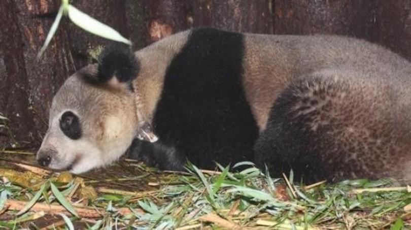 ジャイアントパンダ「張想」野生復帰4年、健康状態は良好