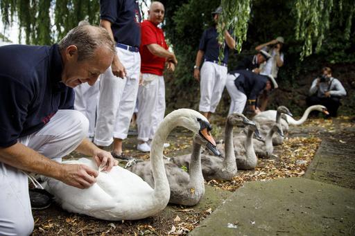 1列に並んで健康診断、テムズ川で伝統の「白鳥調べ」 英