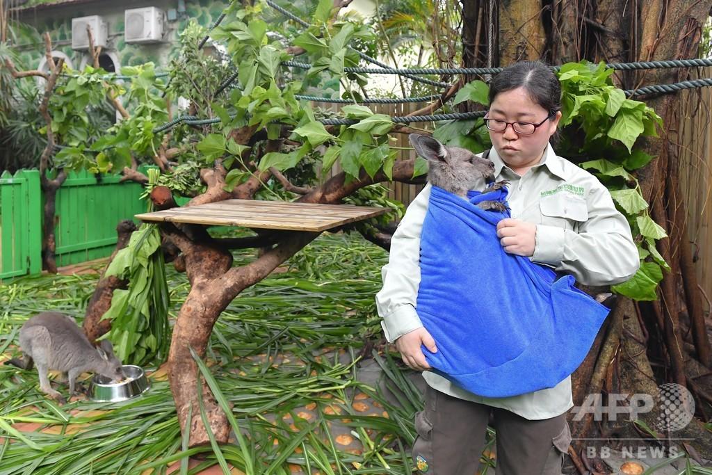 飼育員が赤ちゃんカンガルーの「ママ」に、手製の袋でだっこ 広州