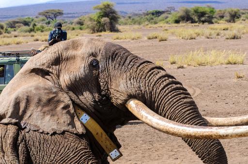 「ビッグティム」死ぬ、アフリカでも数少ない巨大な牙のゾウ ケニア