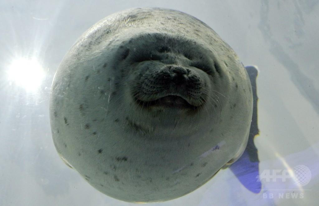 愛嬌満点の表情が人気、海遊館のワモンアザラシ