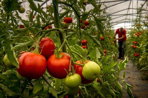 仏農業省、国内初のトマトウイルス汚染を確認