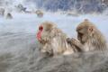 露天風呂を楽しむ地獄谷温泉のニホンザルたち