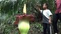 動画:農園で世界最大の花発見、「死体花」が開花 スマトラ島