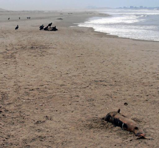 ペルー各地の海岸にイルカの死骸、1月に約400頭