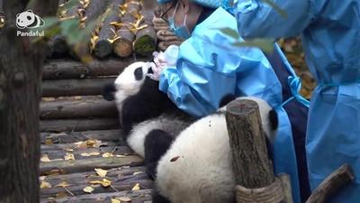 動画:【パンダフル】パンダの赤ちゃん「ミルクくれなきゃイタズラしちゃうぞ」