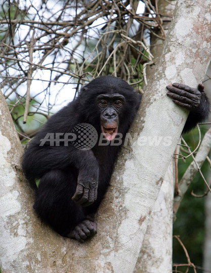 ボノボを絶滅から救え、コンゴに新たな保護区