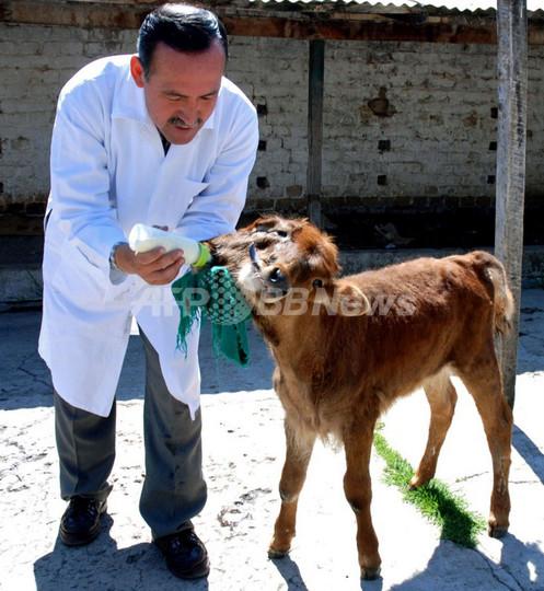 ペルーで双頭の子ウシが誕生