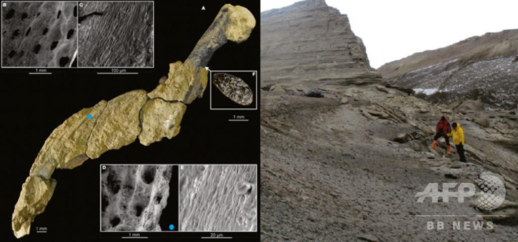 4300万年前のペンギンの翼、化石化した皮膚を発見 アルゼンチン