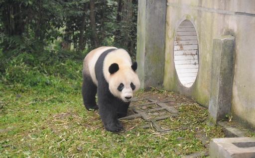 豪のたった2頭のパンダ、中国返還へ 繁殖の成果上がらず