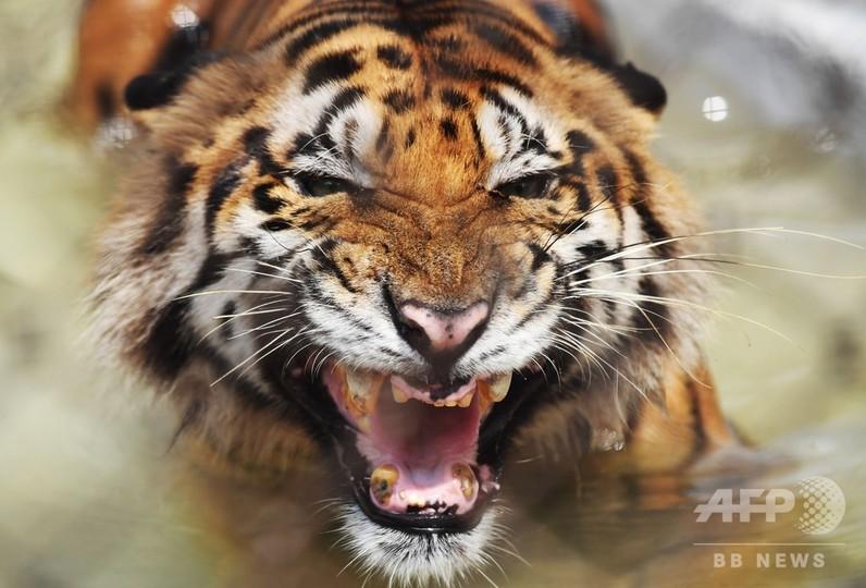 写真特集】6亜種のみの残存が確認された絶滅危機のトラ 写真13枚 国際 ...