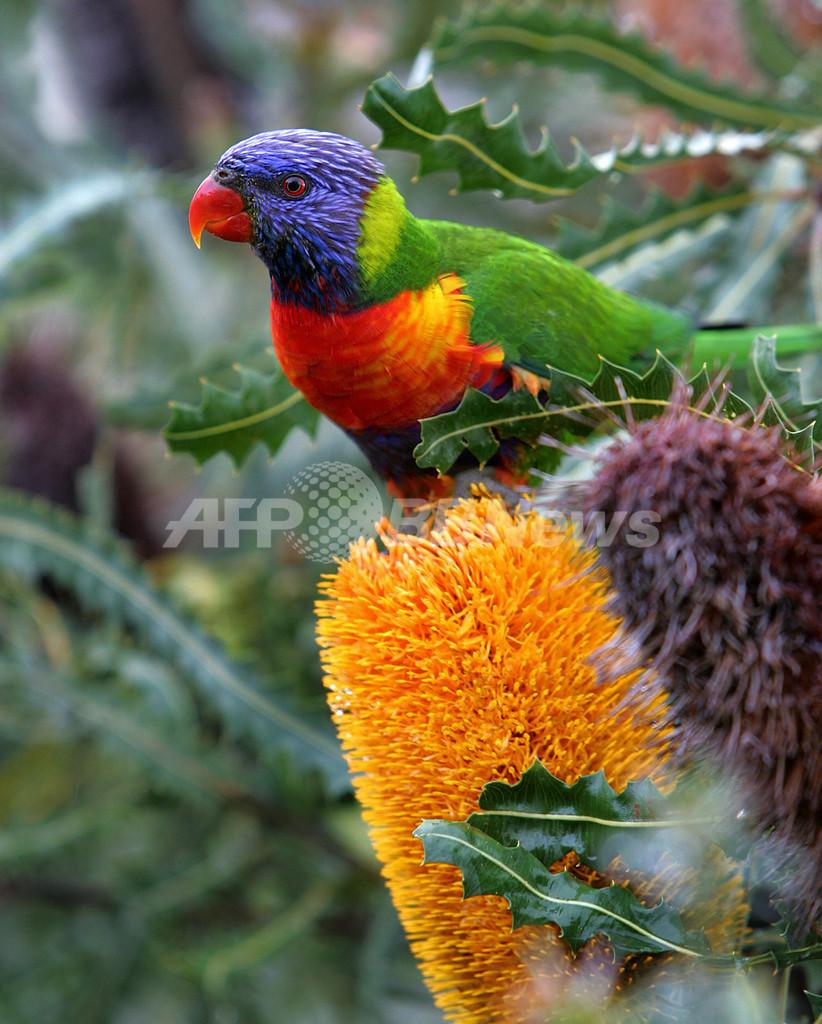 インコ数百羽が泥酔状態に、原因は不明 オーストラリア