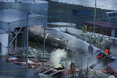 交雑種クジラ解体の調査要求、アイスランド保護団体「ナガス以外の捕獲は違法」