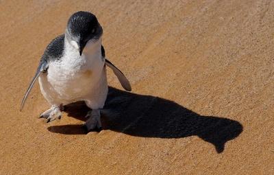 コガタペンギン58羽、犬に襲われ死骸で見つかる 豪タスマニア島