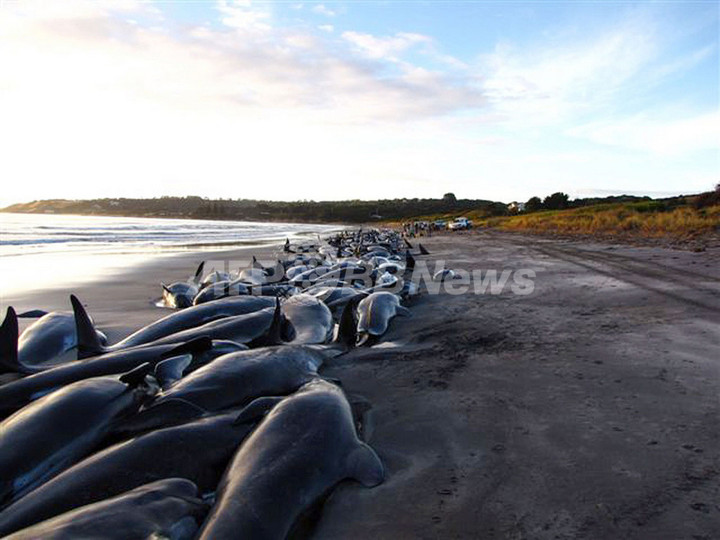クジラなど約200頭海岸に打ち上げられる、豪州