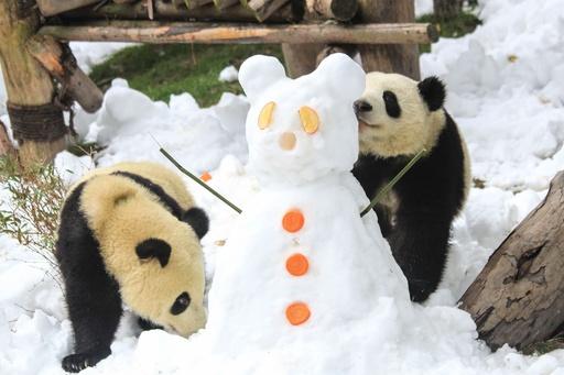 雪のプレゼントに大喜びのパンダ 中国