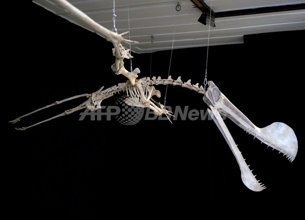 南半球最大の翼竜化石、ブラジル・リオの博物館で公開
