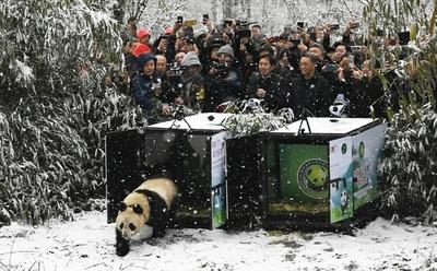 2頭の人工飼育パンダ、野外へ 中国・成都地区では初