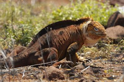リクイグアナを別生息地に移送、個体数過剰で ガラパゴス諸島