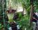 スマトラオオコンニャクの開花、世界最大 フランス