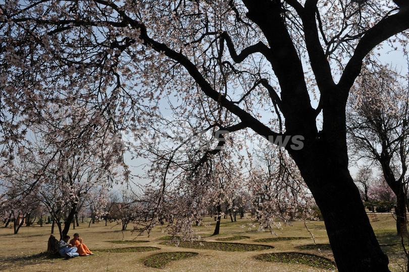 満開の桜?いいえ、アーモンドの花です インド