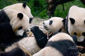 ジャイアントパンダ、23歳で双子 世界最高齢出産 中国